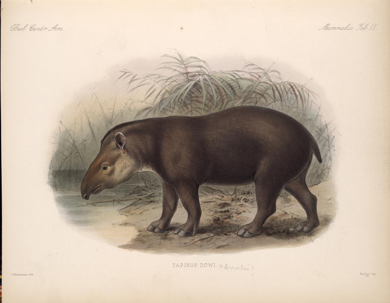 Tapir,  Image number:bca_02_00_00_265