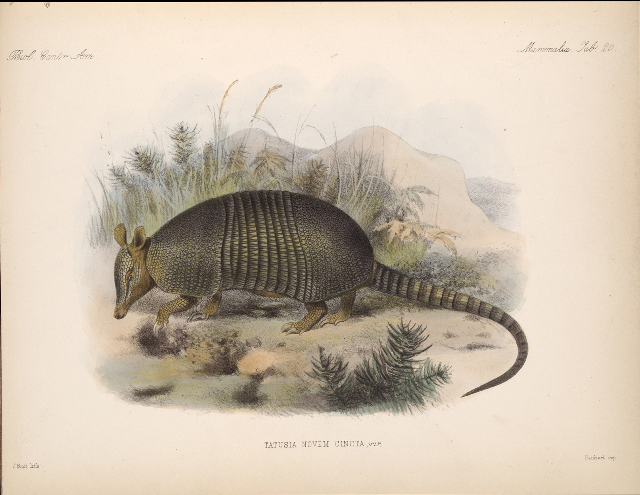 Armadillo,  Image number:bca_02_00_00_287