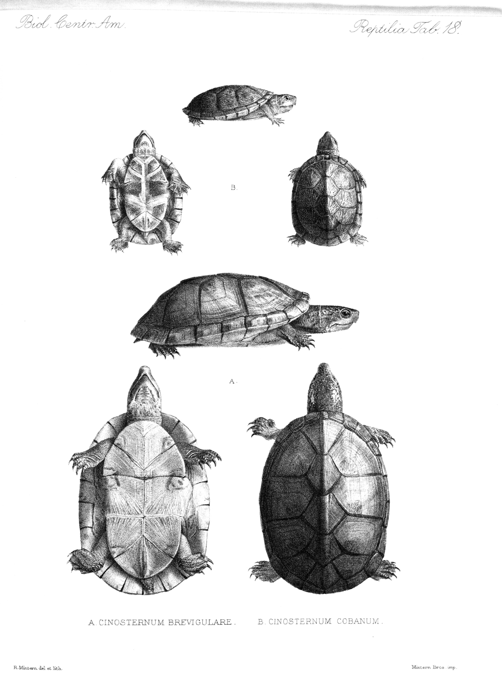 Turtles,  Image number:bca_04_00_00_368