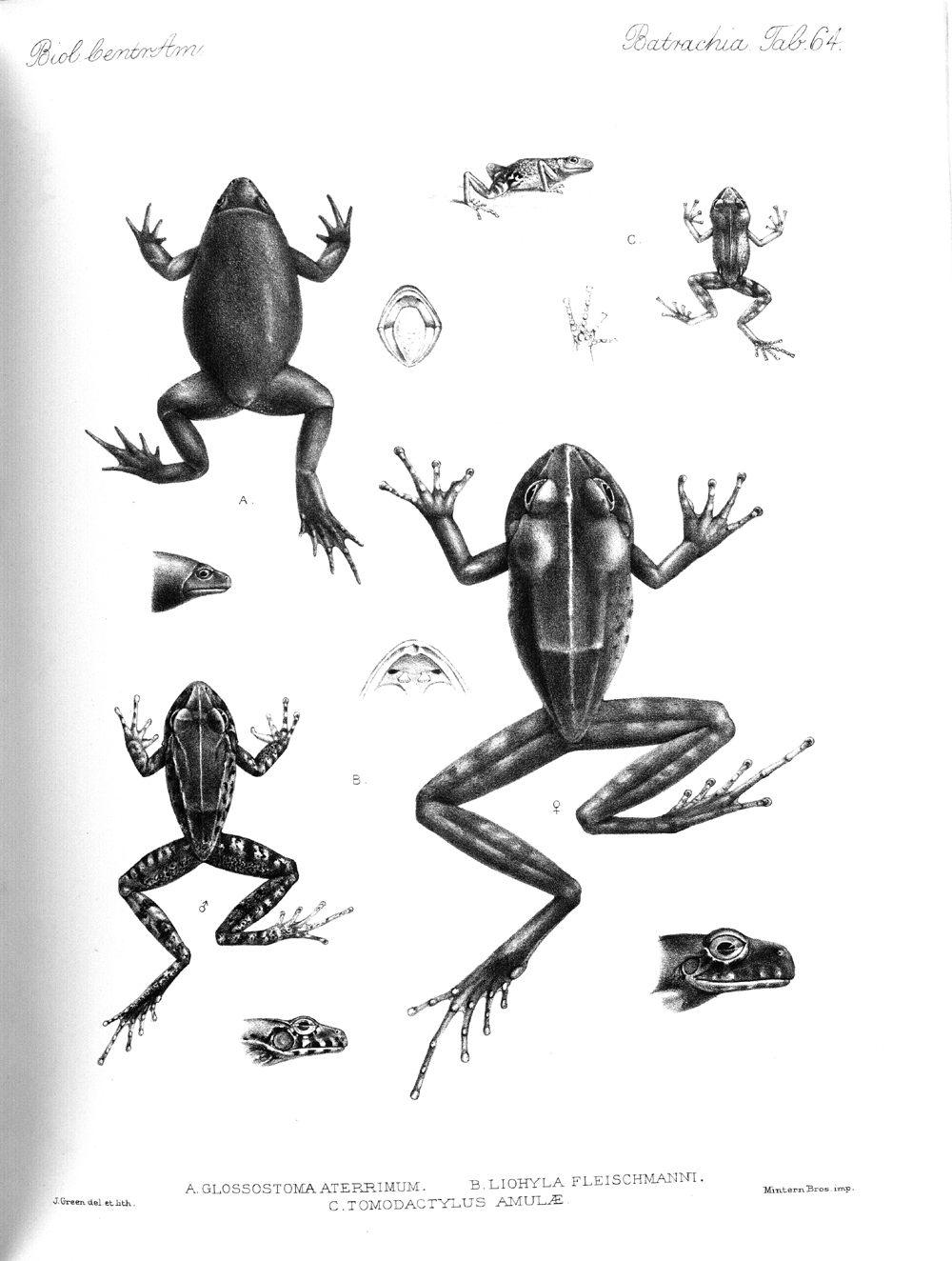 Frogs,  Image number:bca_04_00_00_414