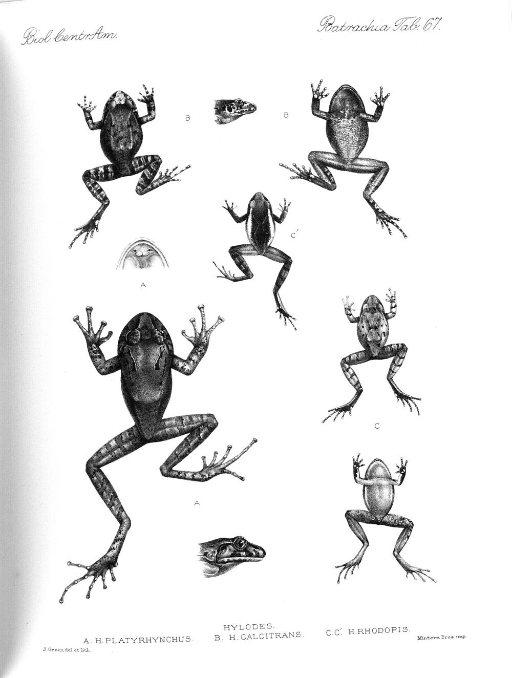 Frogs,  Image number:bca_04_00_00_417