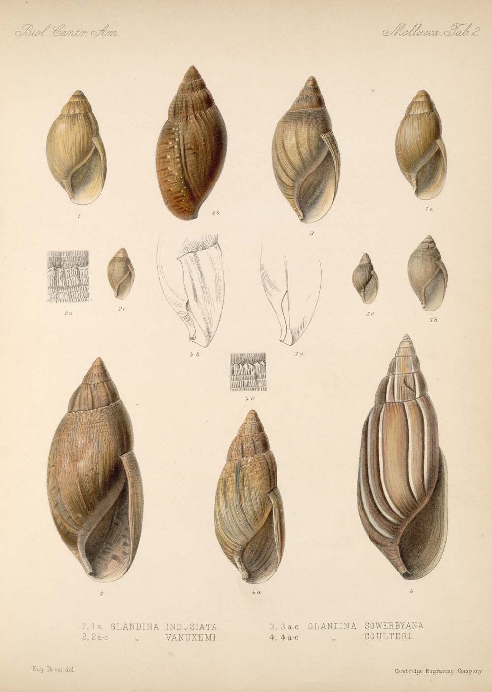 Shells and Mollusks,  Image number:bca_06_00_00_713