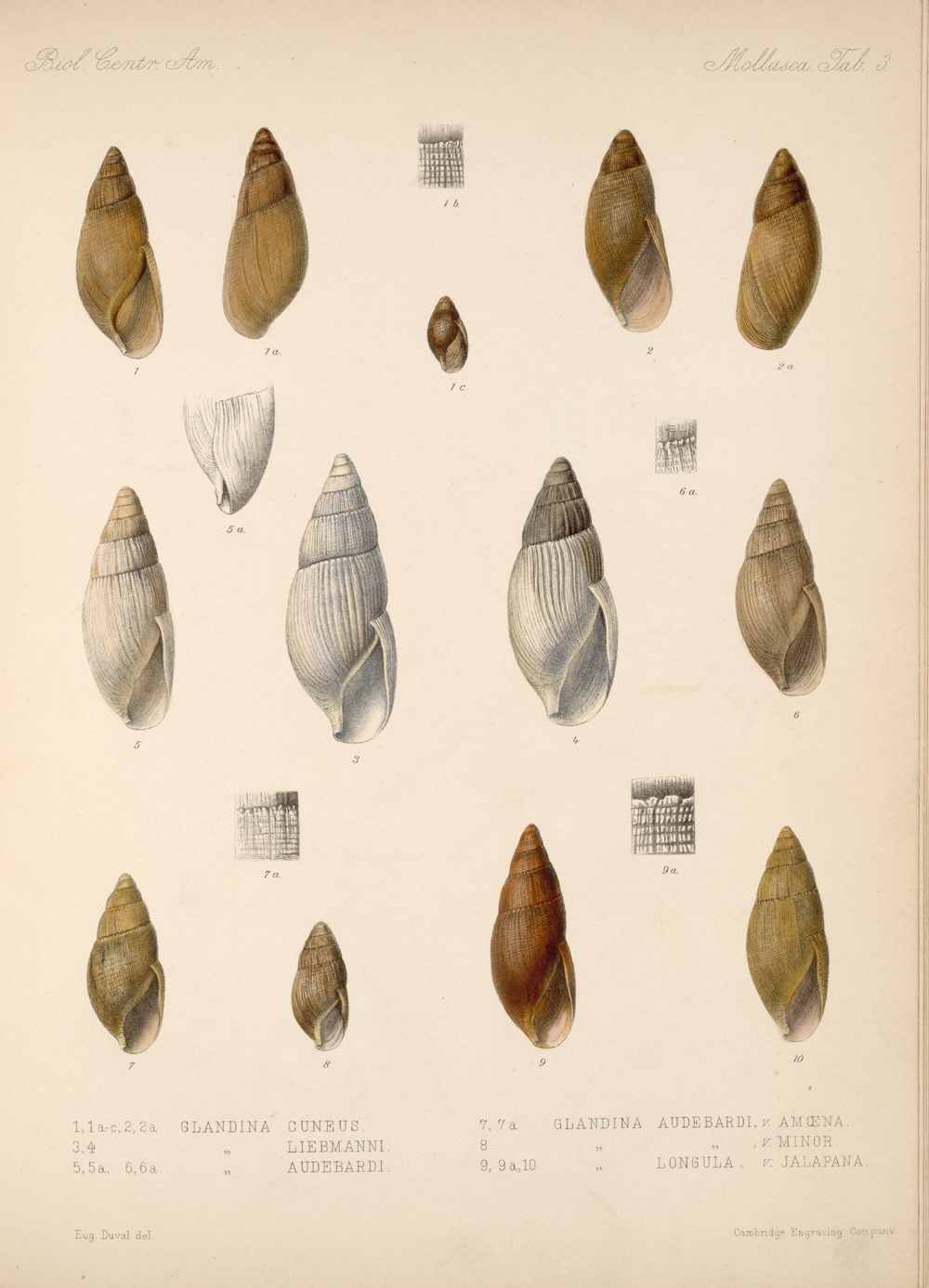 Shells and Mollusks,  Image number:bca_06_00_00_715