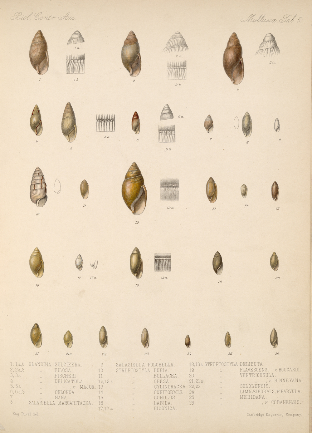 Shells and Mollusks,  Image number:bca_06_00_00_719