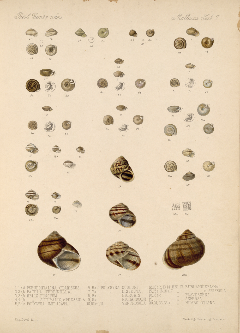 Shells and Mollusks,  Image number:bca_06_00_00_723