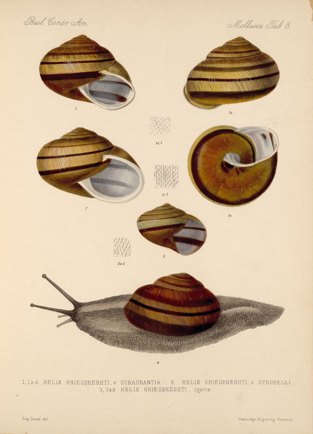 Shells and Mollusks,  Image number:bca_06_00_00_725