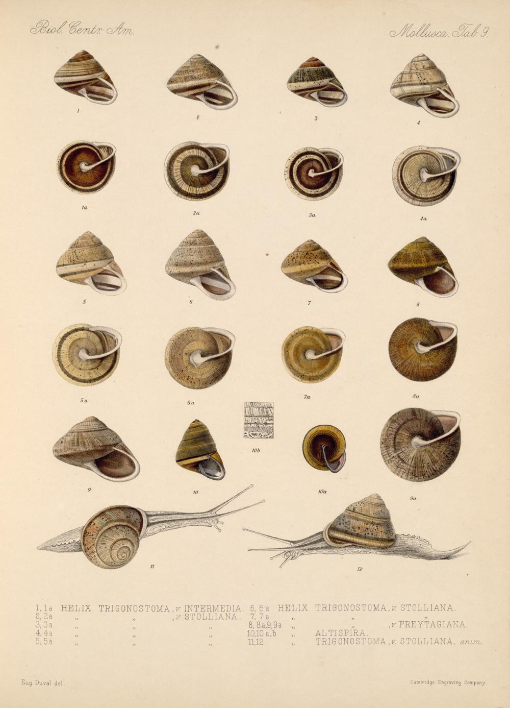 Shells and Mollusks,  Image number:bca_06_00_00_727