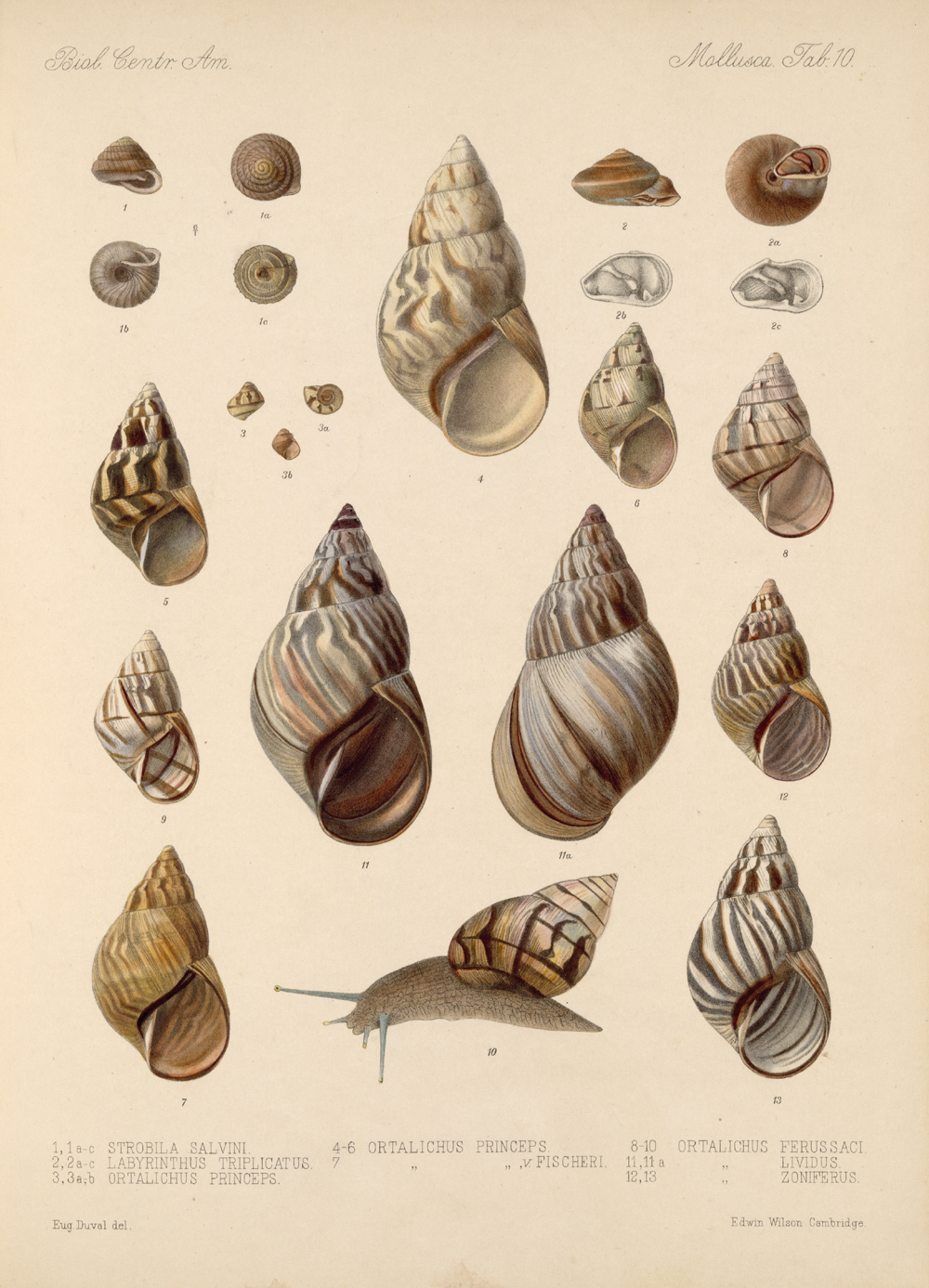 Shells and Mollusks,  Image number:bca_06_00_00_729