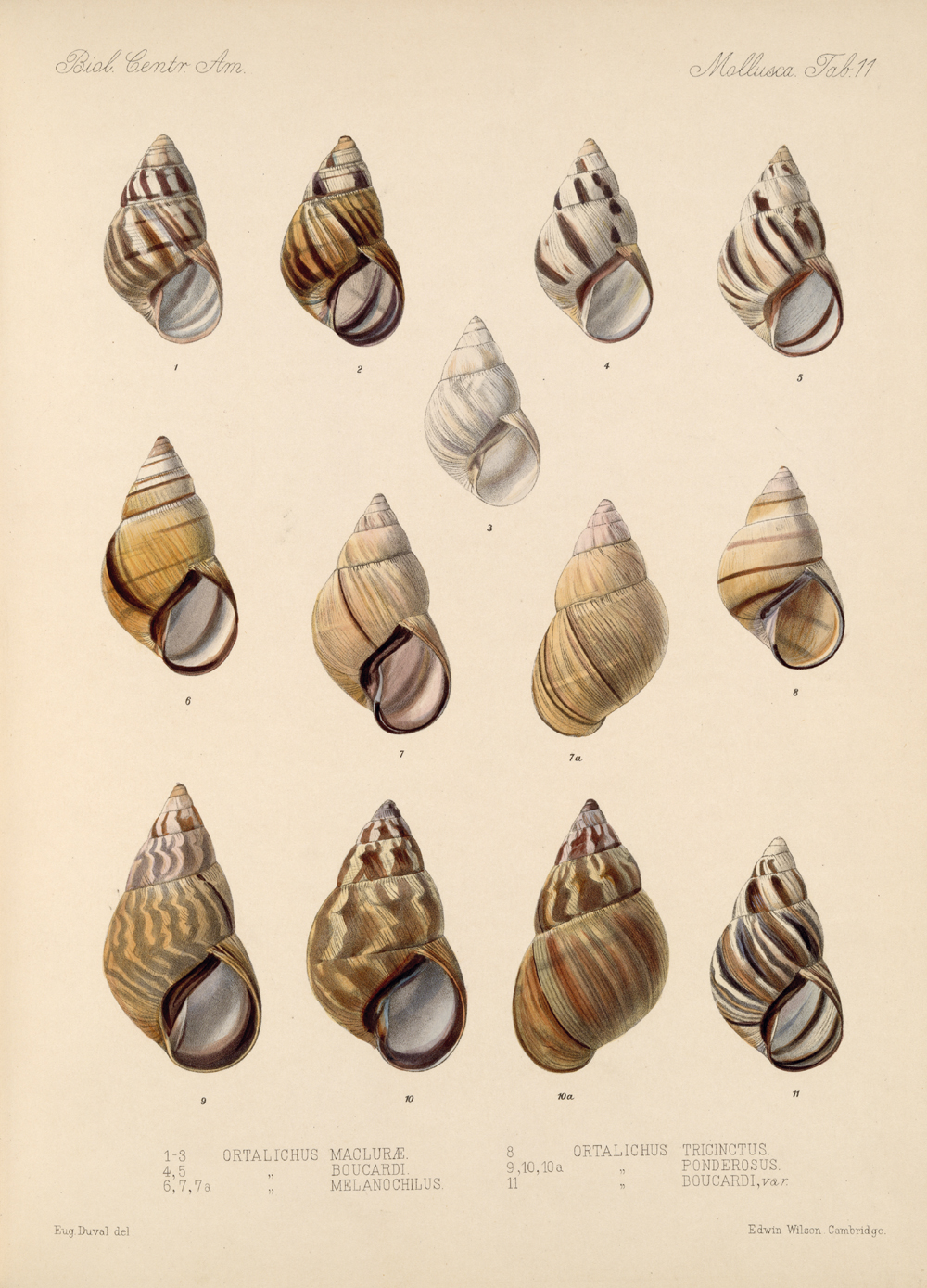 Shells and Mollusks,  Image number:bca_06_00_00_731