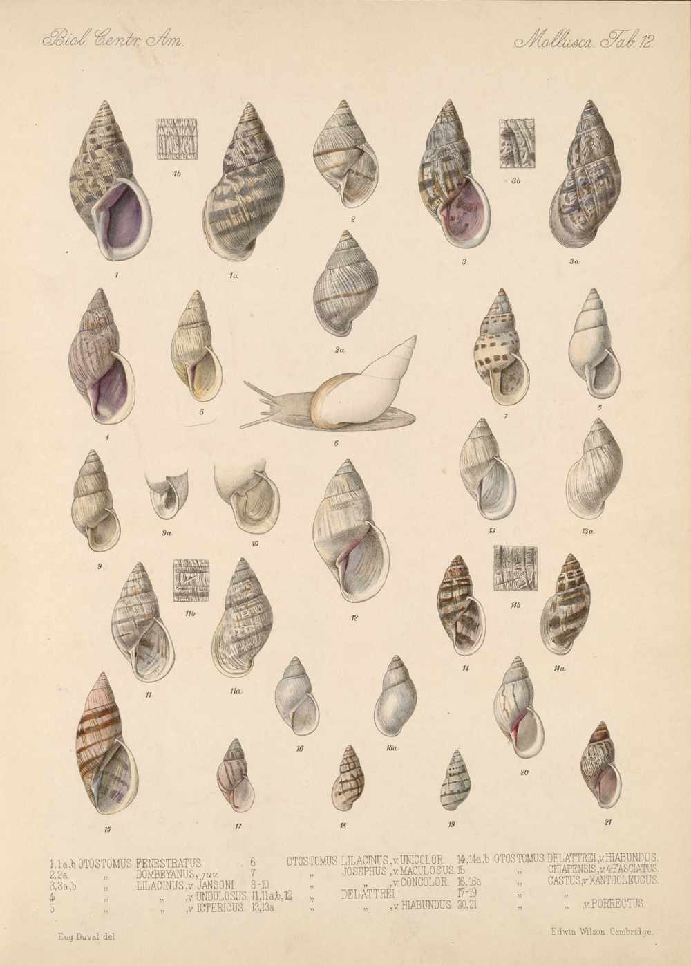 Shells and Mollusks,  Image number:bca_06_00_00_733