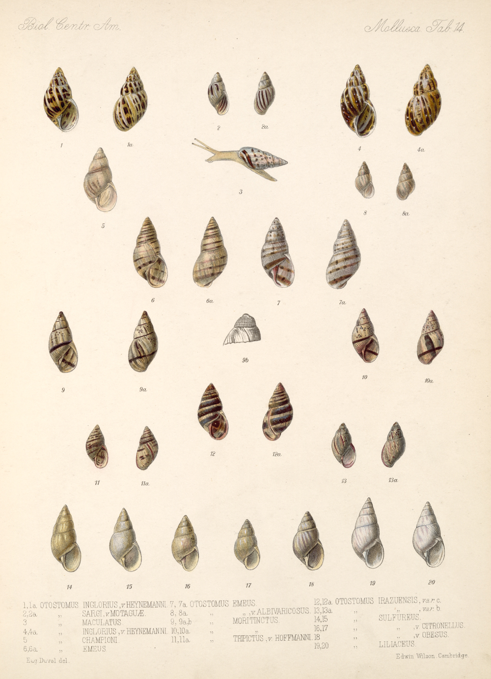 Shells and Mollusks,  Image number:bca_06_00_00_737