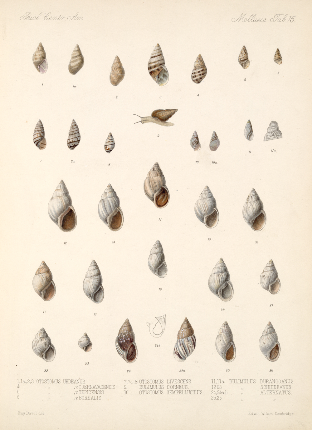 Shells and Mollusks,  Image number:bca_06_00_00_739