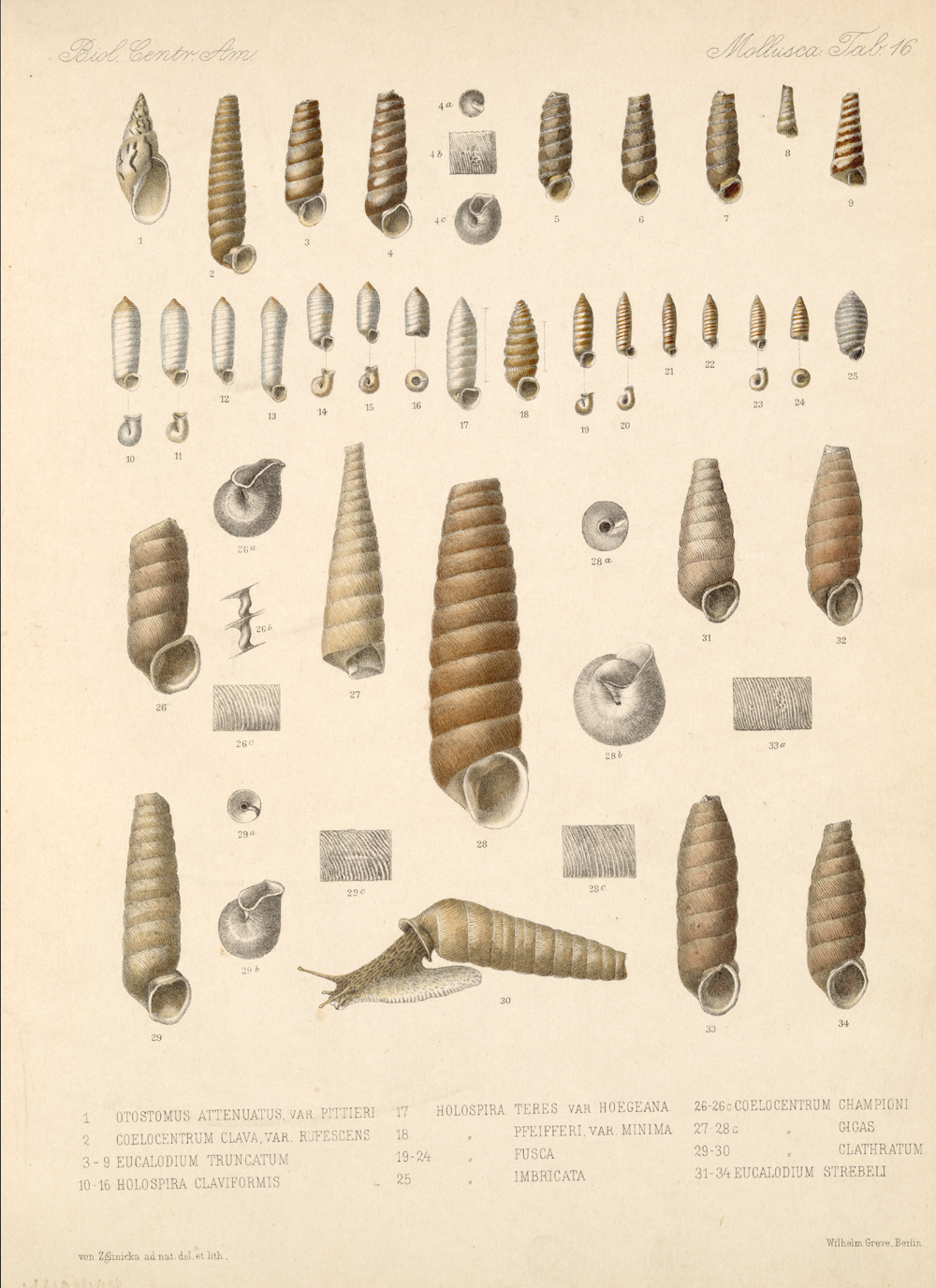 Shells and Mollusks,  Image number:bca_06_00_00_741
