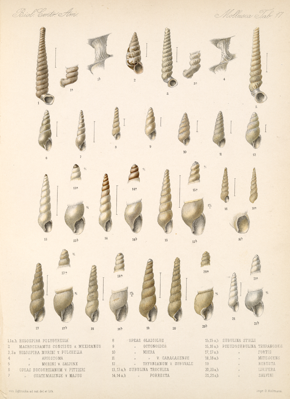 Shells and Mollusks,  Image number:bca_06_00_00_743
