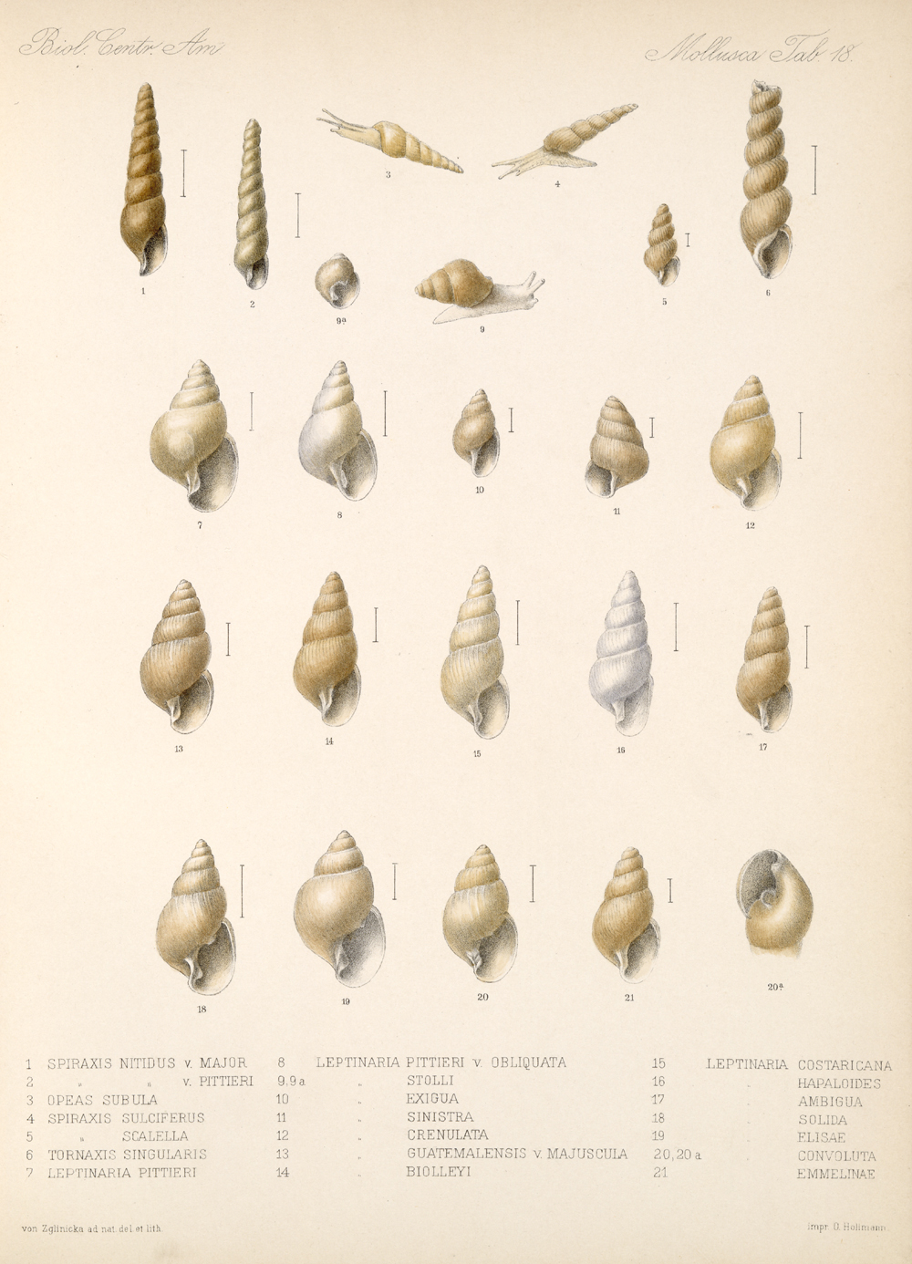Shells and Mollusks,  Image number:bca_06_00_00_745