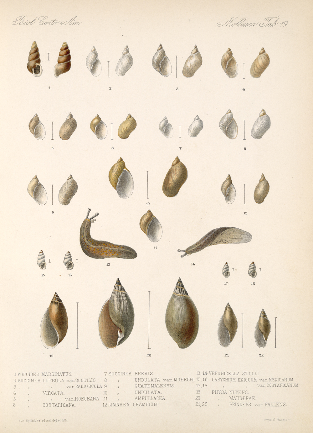 Shells and Mollusks,  Image number:bca_06_00_00_747