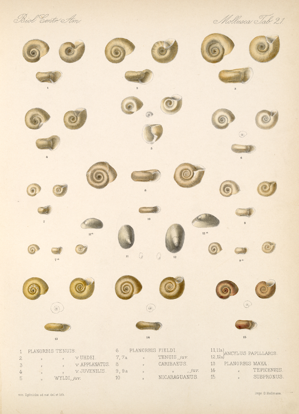 Shells and Mollusks,  Image number:bca_06_00_00_751