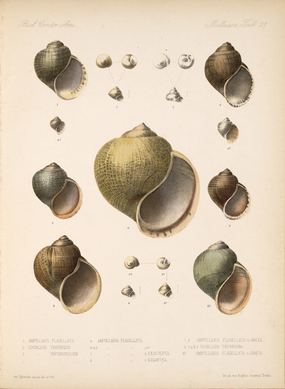 Shells and Mollusks,  Image number:bca_06_00_00_755