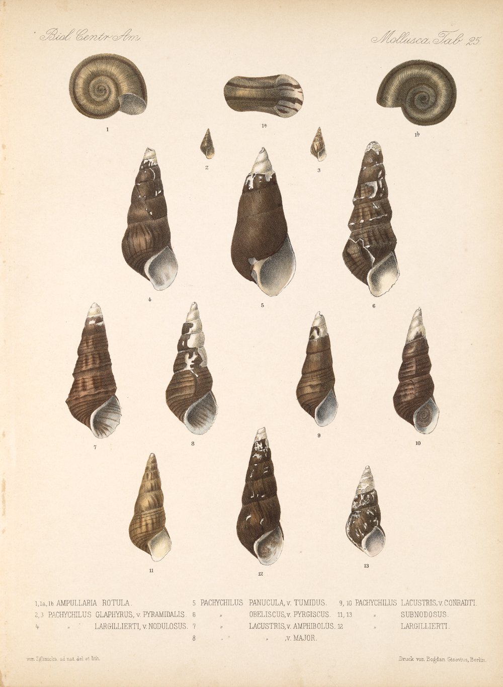 Shells and Mollusks,  Image number:bca_06_00_00_759