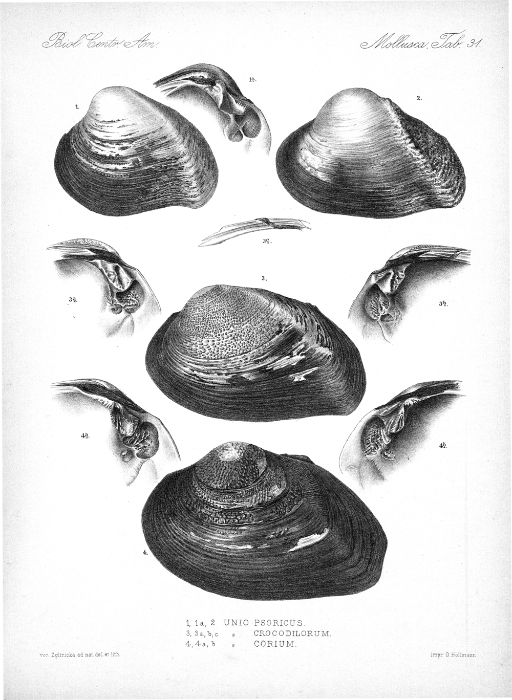 Shells and Mollusks,  Image number:bca_06_00_00_771