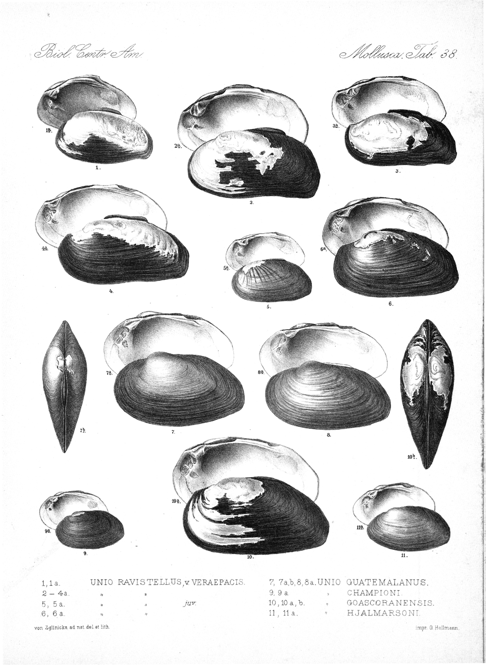 Shells and Mollusks,  Image number:bca_06_00_00_785