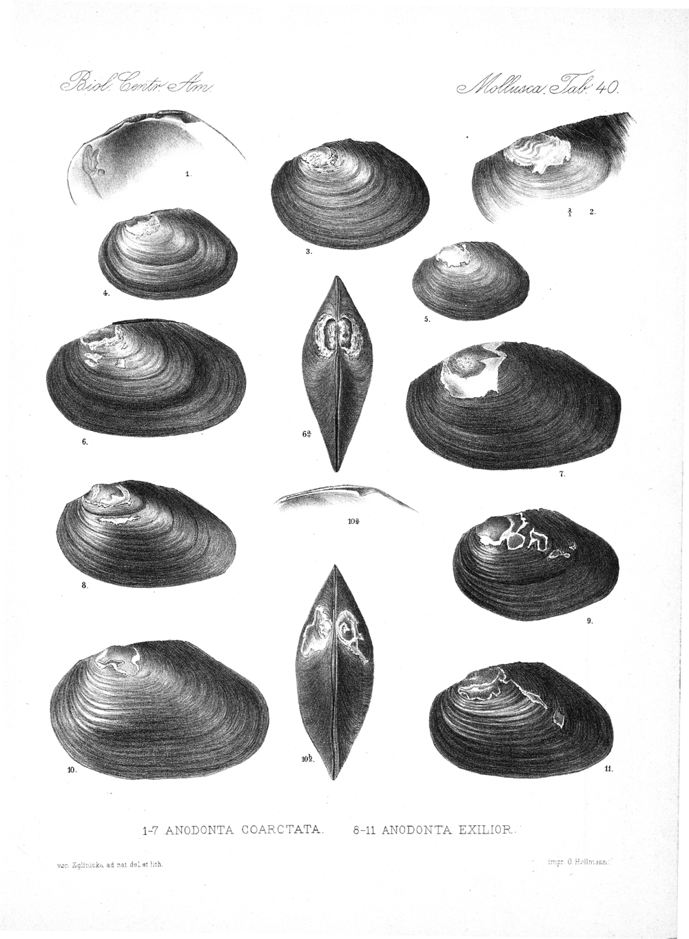Shells and Mollusks,  Image number:bca_06_00_00_789
