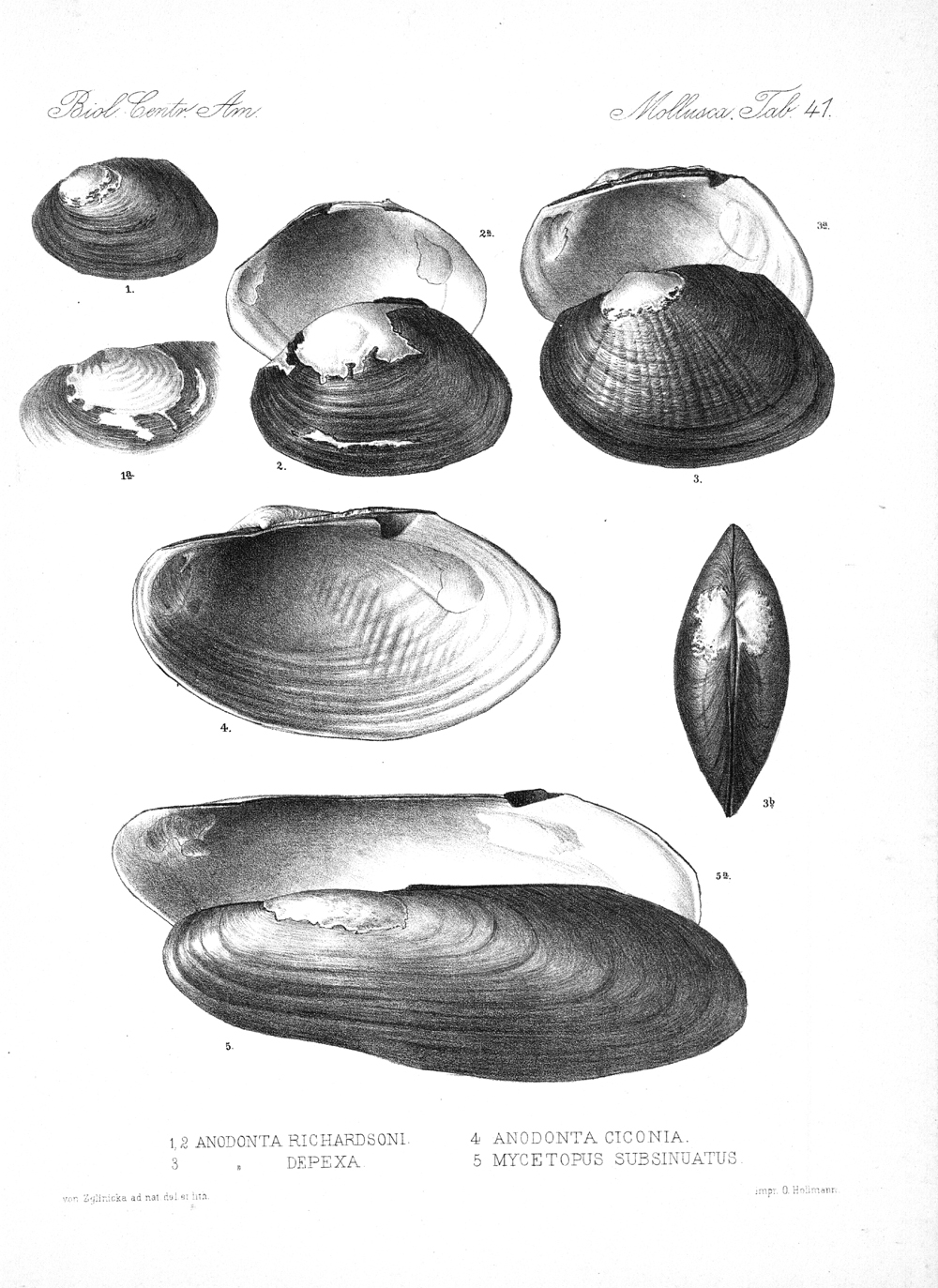 Shells and Mollusks,  Image number:bca_06_00_00_791