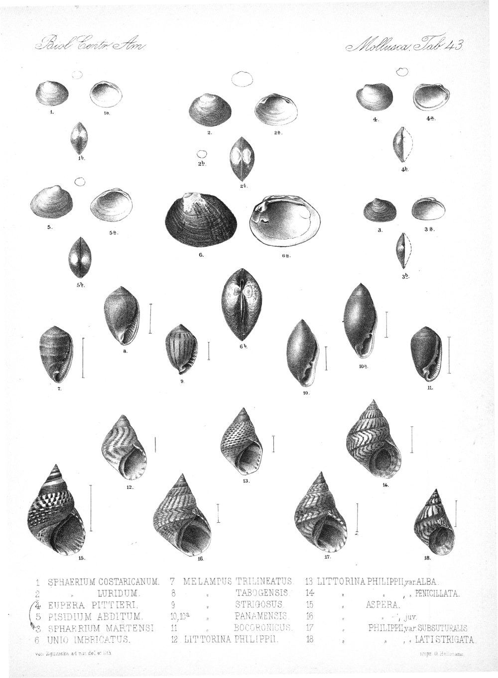 Shells and Mollusks,  Image number:bca_06_00_00_795