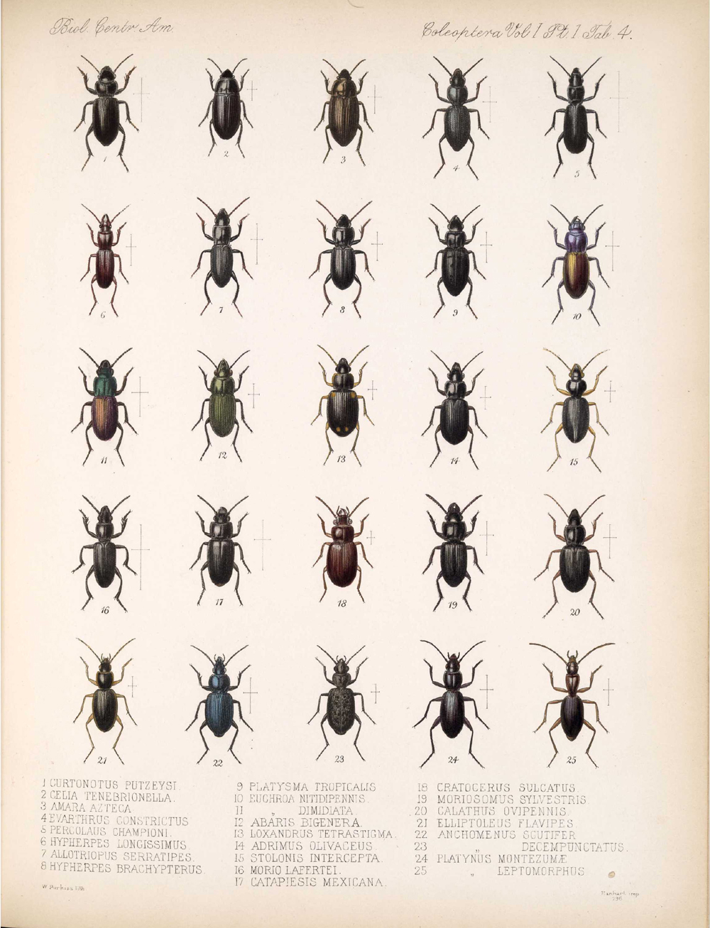 Beetles,  Image number:bca_12_01_01_336