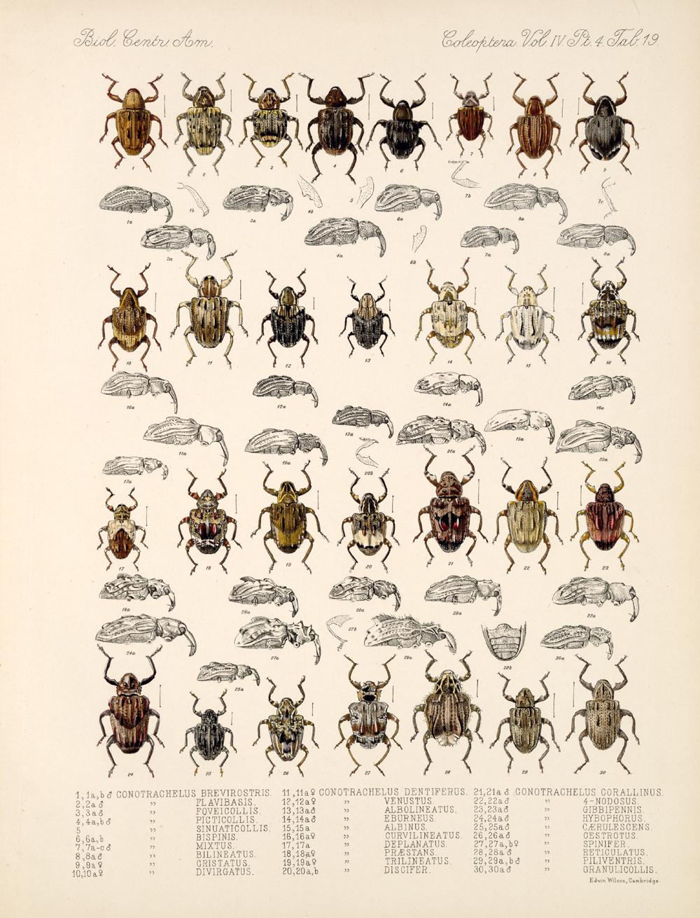 Beetles,  Image number:bca_12_04_04_801