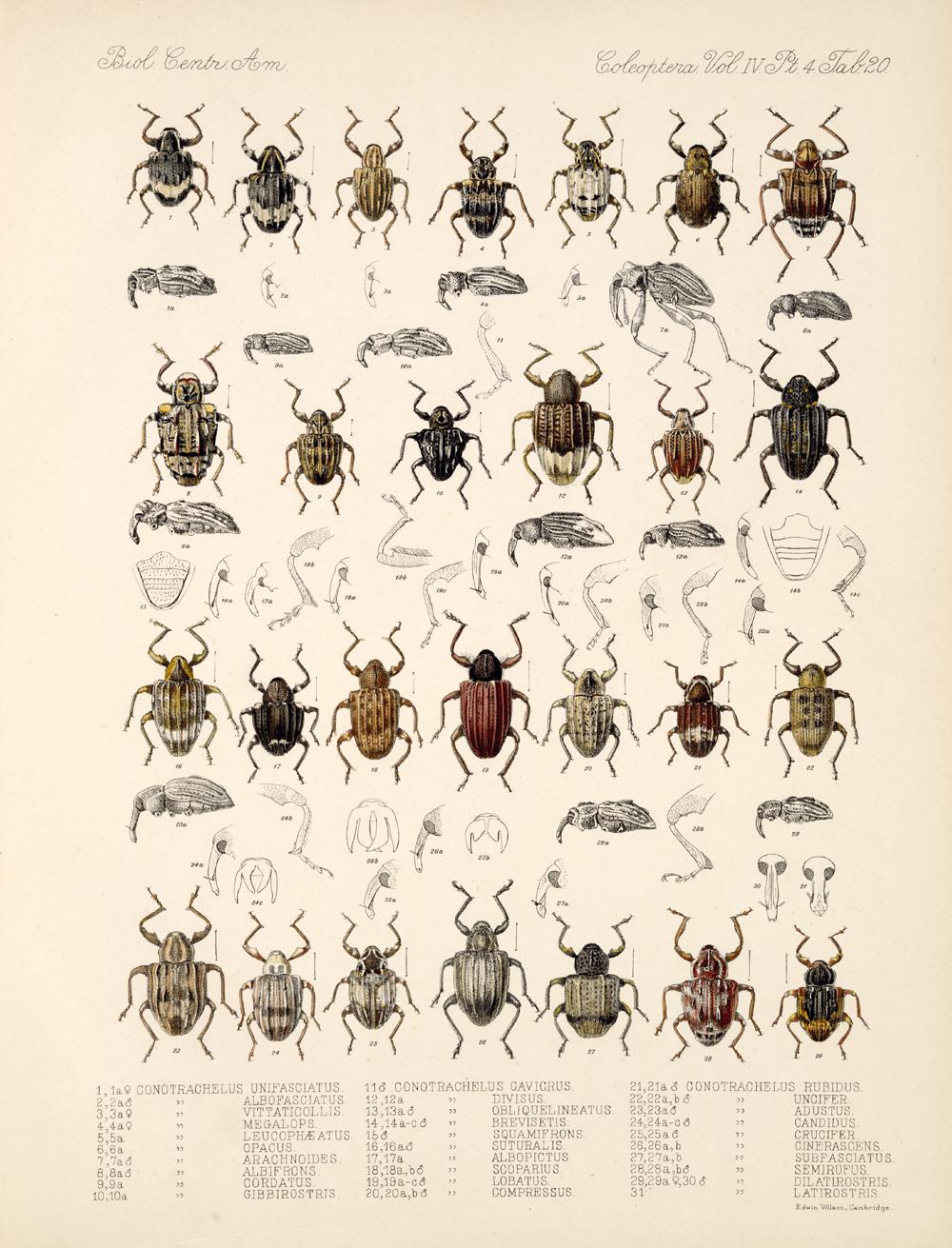 Beetles,  Image number:bca_12_04_04_803