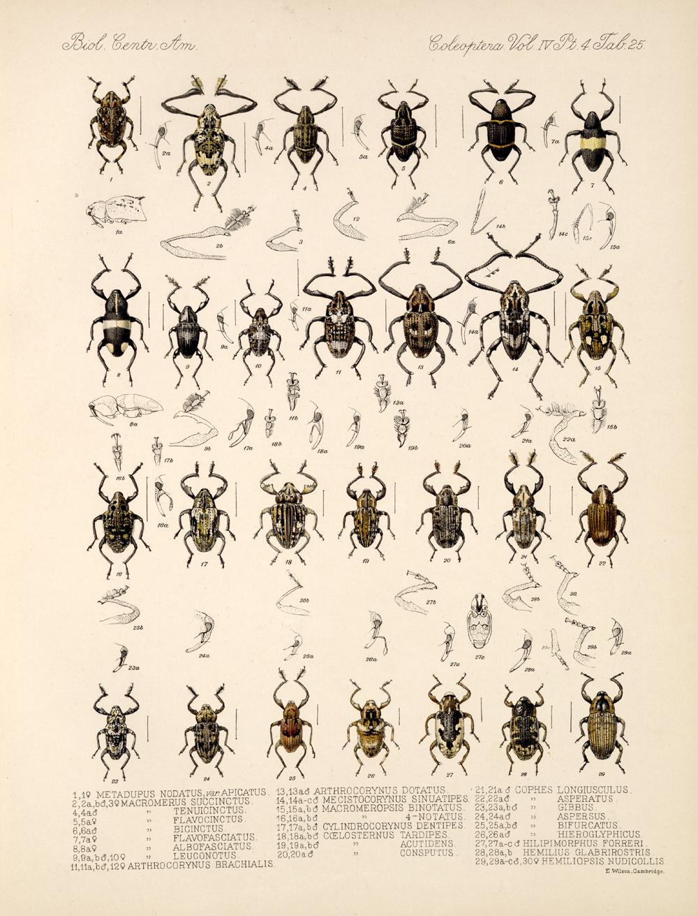 Beetles,  Image number:bca_12_04_04_813