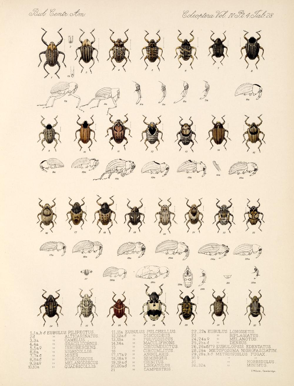 Beetles,  Image number:bca_12_04_04_819