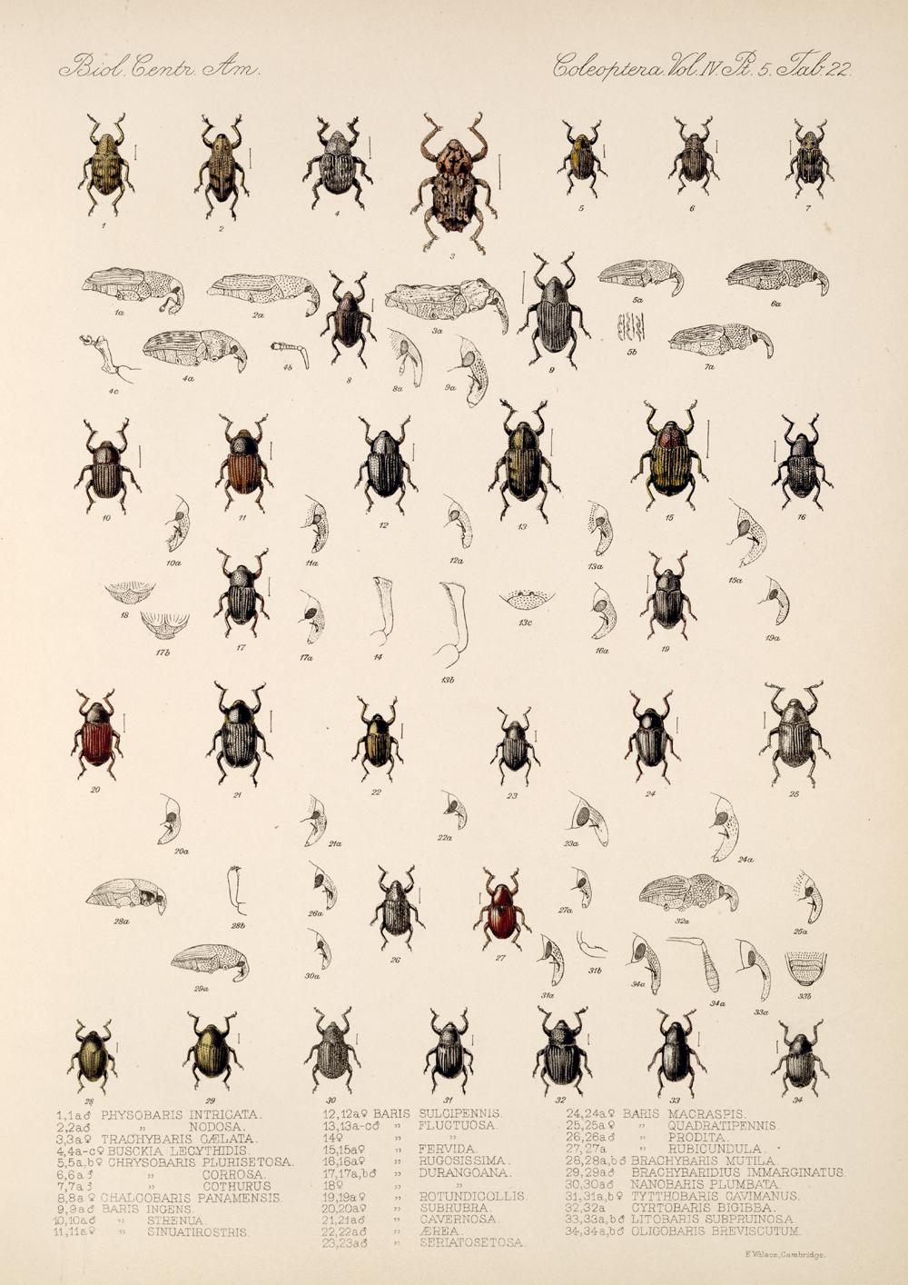 Beetles,  Image number:bca_12_04_05_571