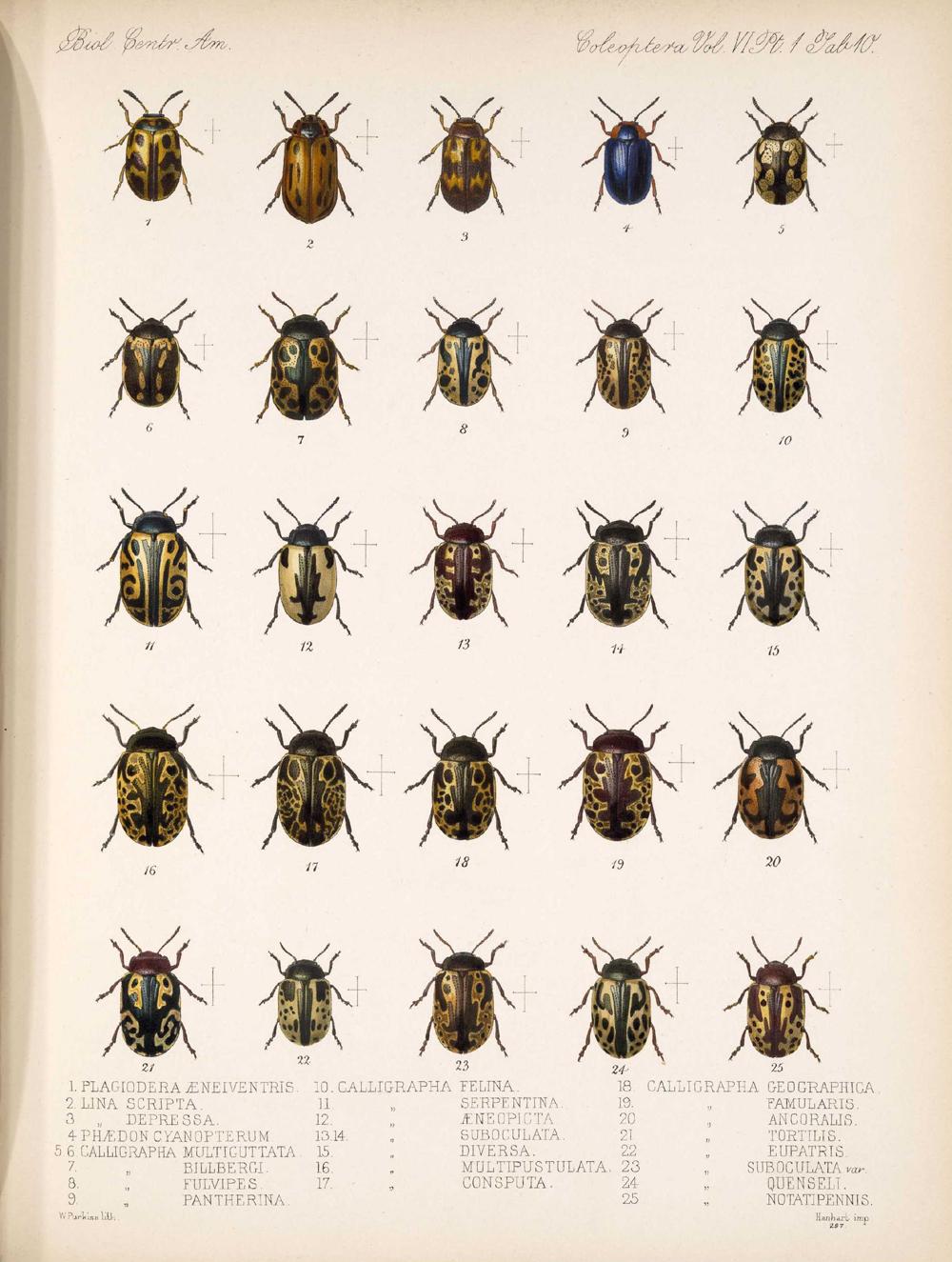 Beetles,  Image number:bca_12_06_01s_394