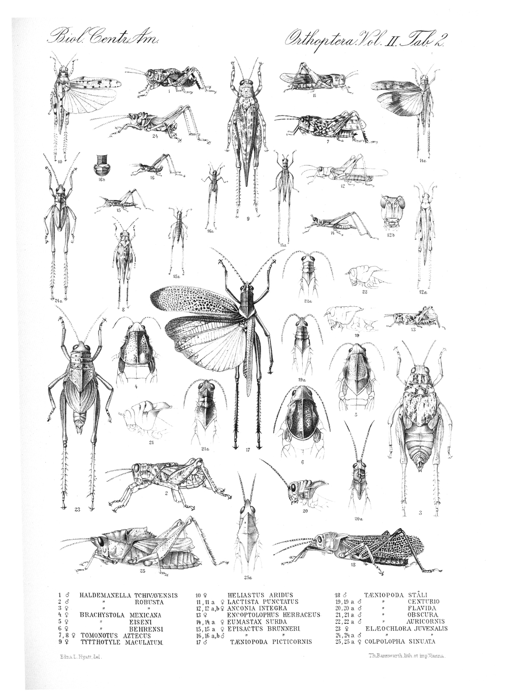 Grasshoppers and Related Insects,  Image number:bca_20_02_00_426