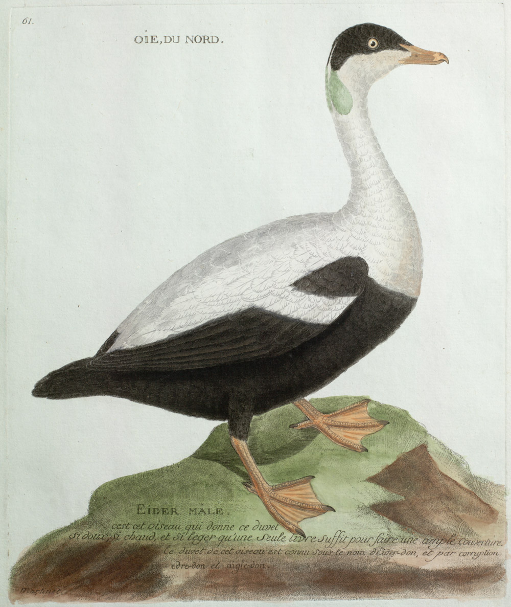 Plate 61: Oie, Du Nord. Eider Mâle,  Image number:SIL13-1-127b