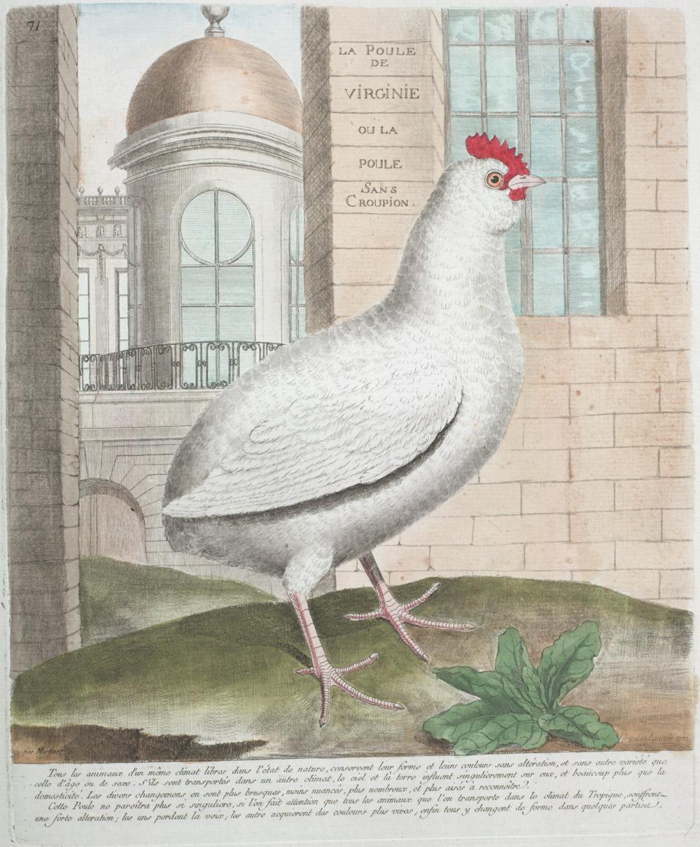 Plate 71: La Poule de Virginie ou la Poule Sans Croupion,  Image number:SIL13-1-147b