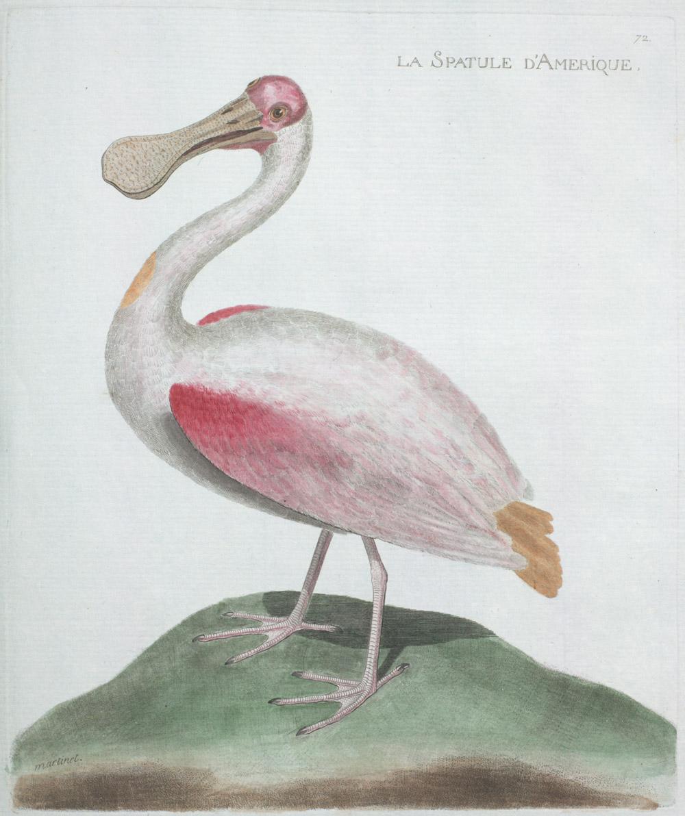Plate 72: La Spatule D'Amerique,  Image number:SIL13-1-149b