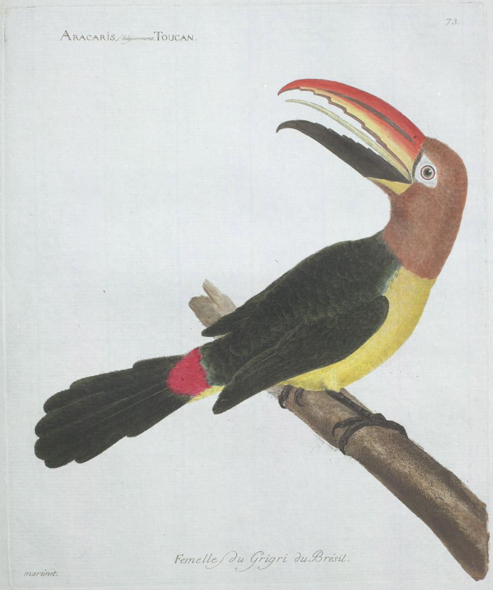 Plate 73: Aracaris, Vulgairement Toucan Femelle du Grigri du Brésil,  Image number:SIL13-1-151b