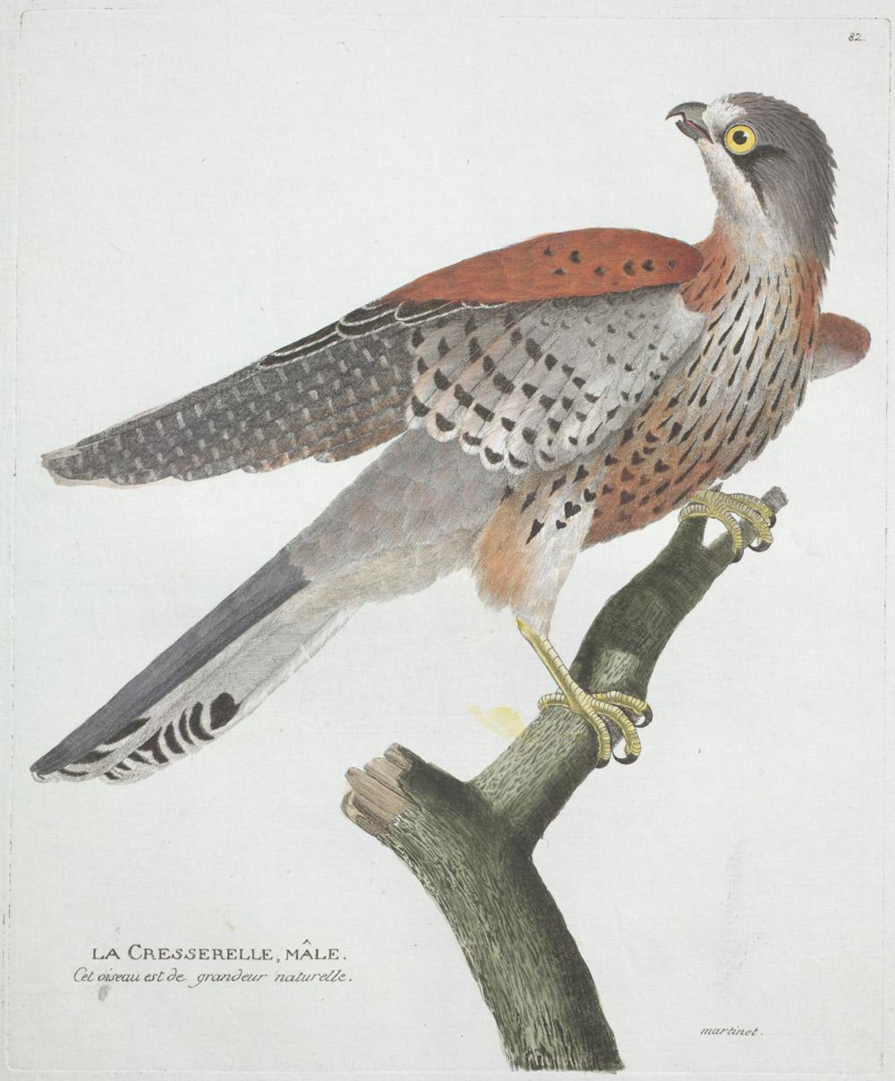 Plate 82: La Cresserelle, Mâle,  Image number:SIL13-1-169b