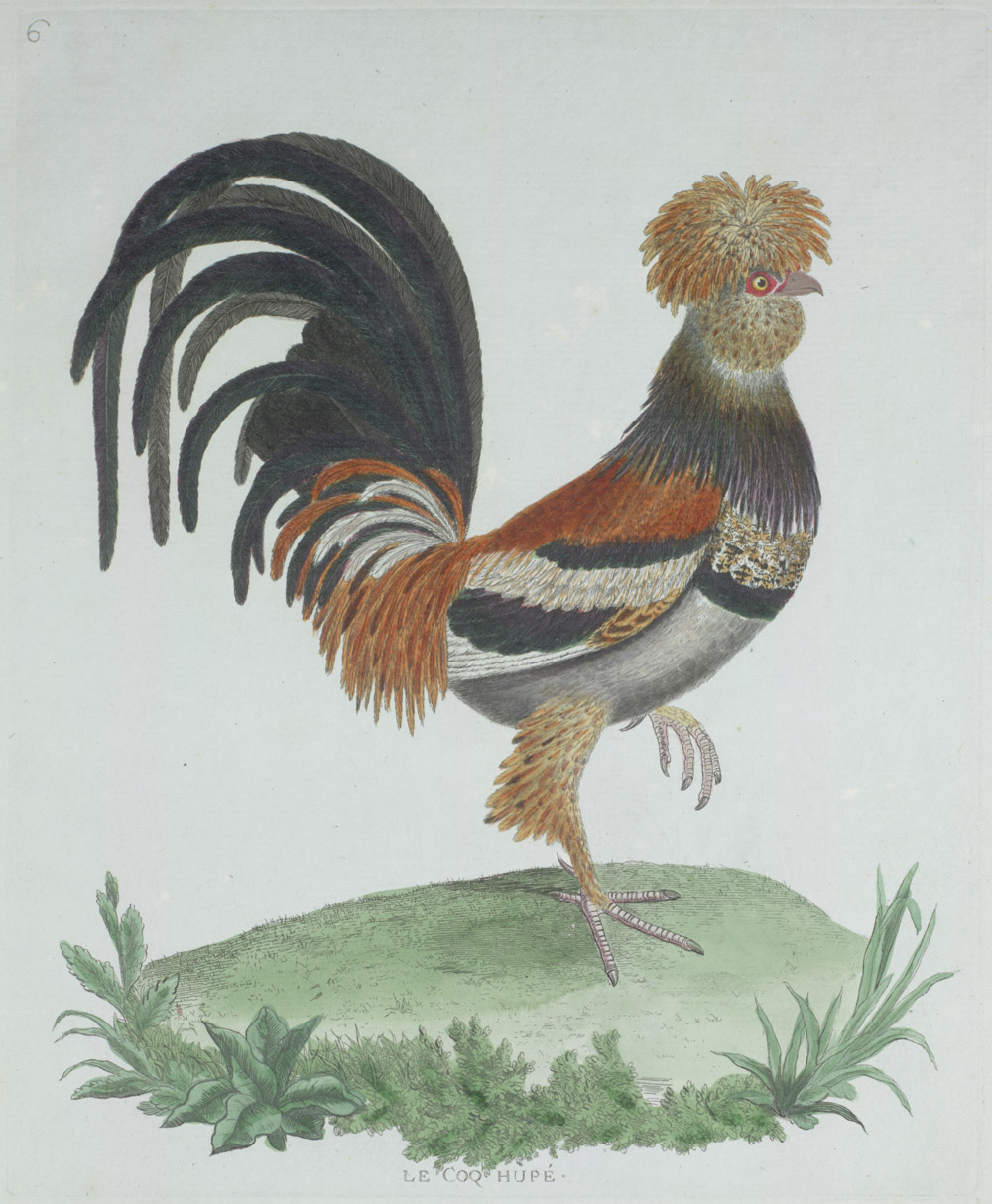 Plate 6: Le Coq Hupé,  Image number:SIL13-1-17b