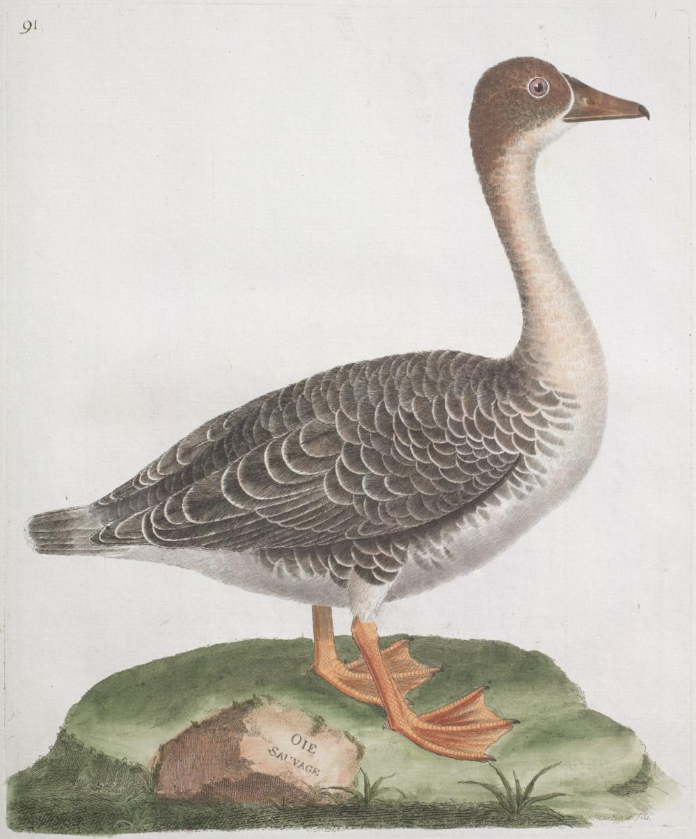 François-Nicolas Martinet, Ornithologie [Histoire des Oiseaux Peints dans Tous Leurs Aspects Apparents et Sensibles] [Ornithology], 1773-1792, Plate 91: The Wild Goose