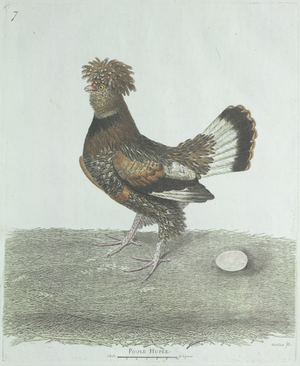 Plate 7: Poule Hupée,  Image number:SIL13-1-19b