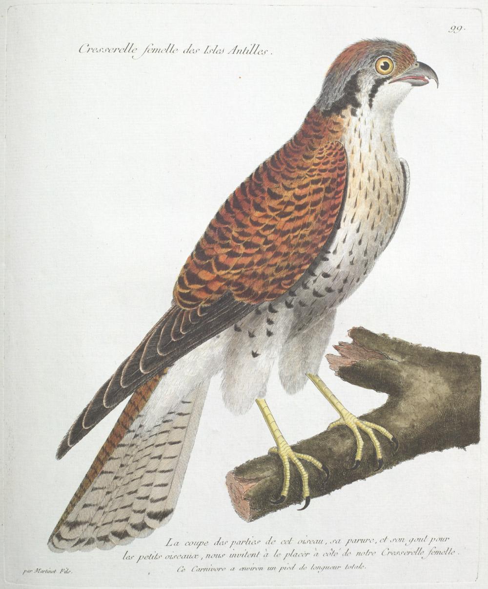 Plate 99: Cresserelle Femelle des Isles Antilles,  Image number:SIL13-1-203b