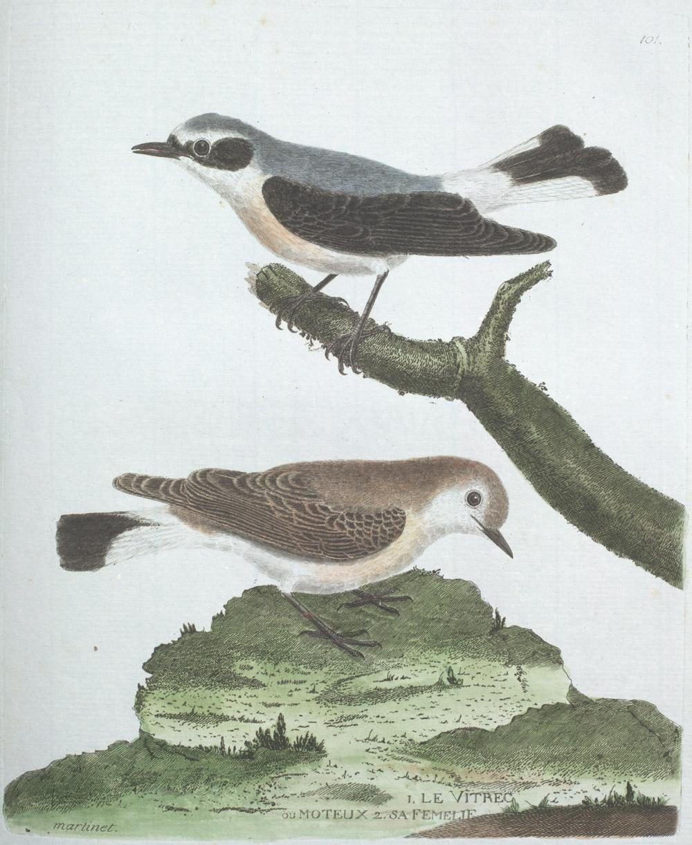 Plate 101: 1. Le Vitrec ou Moteux. 2. Sa Femelle,  Image number:SIL13-1-207b