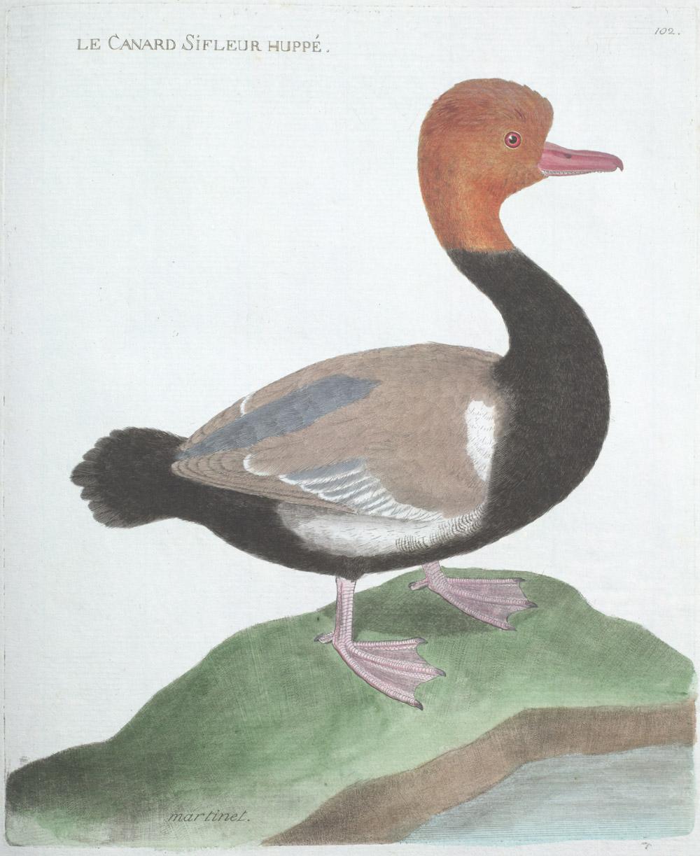 François-Nicolas Martinet, Ornithologie [Histoire des Oiseaux Peints dans Tous Leurs Aspects Apparents et Sensibles] [Ornithology], 1773-1792, Plate 102: Le Canard Sifleur Huppé [Plate 102: The Whistling Duck].