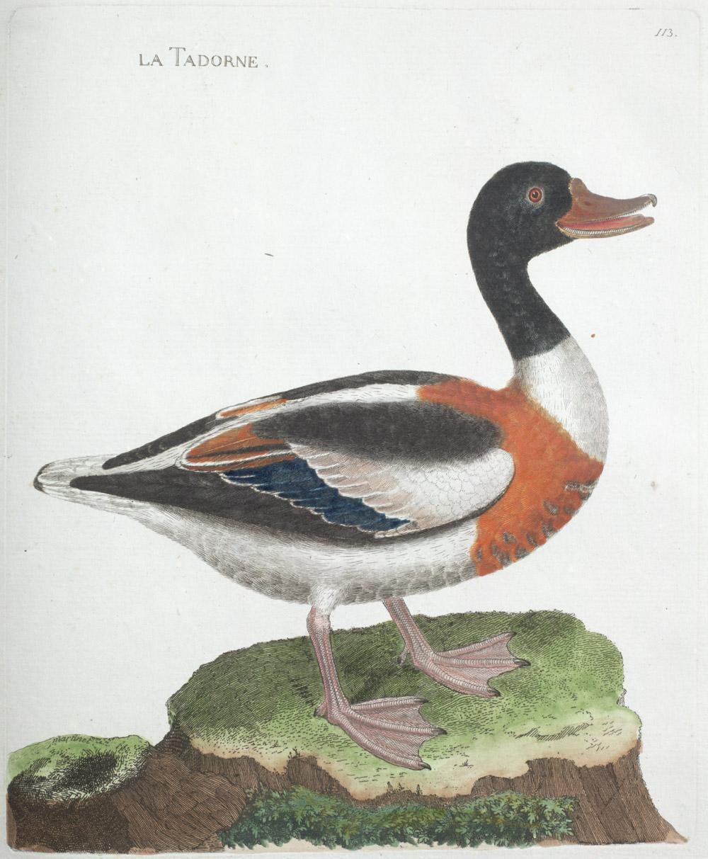 Plate 113: La Tadorne,  Image number:SIL13-1-231b