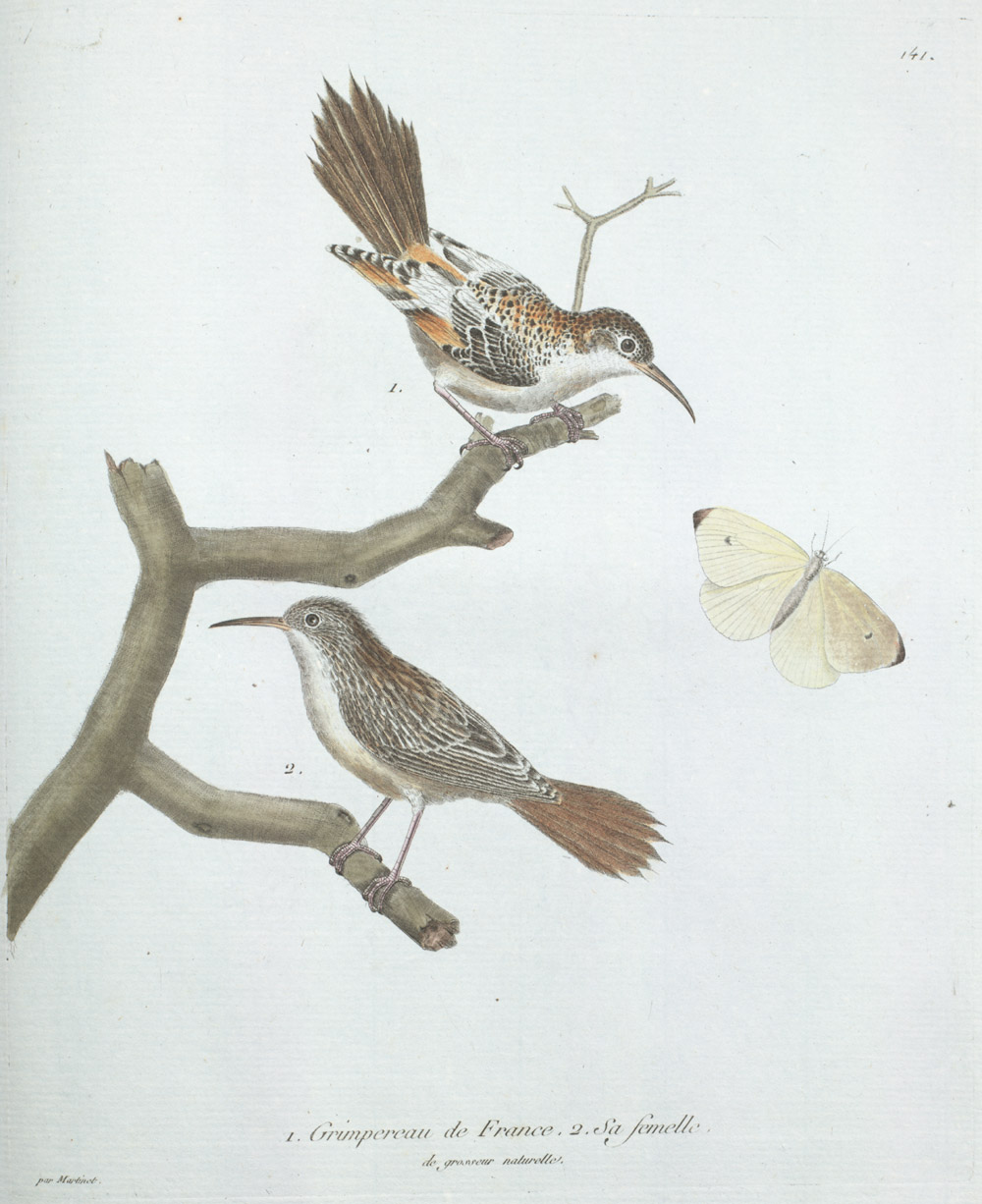 Plate 141: 1. Grimpereau de France. 2. Sa Femelle de Grosseur Naturelle,  Image number:SIL13-1-287b