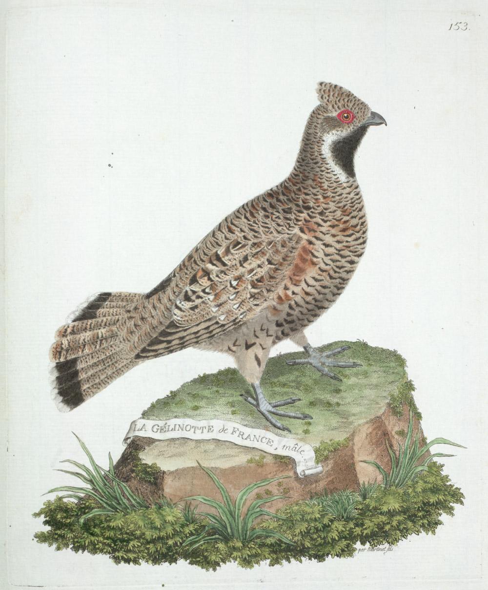 Plate 153: La Gélinotte de France, Mâle,  Image number:SIL13-1-311b